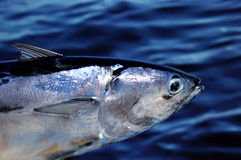 туна рыб Стоковое Изображение RF