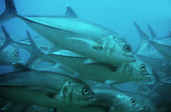 туна dogtooth Стоковое фото RF