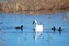 тундра лебедя американских лысук Стоковое Изображение