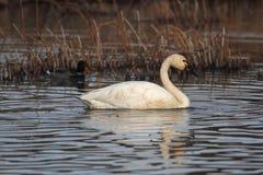 тундра лебедя Стоковая Фотография