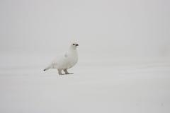 Тундреная куропатка утеса Стоковая Фотография