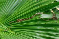 Туп-возглавленная змейка вала, cenchoa Imantodes стоковое изображение
