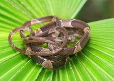 Туп-возглавленная змейка вала, cenchoa Imantodes Стоковая Фотография RF