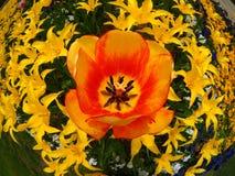 Турецкие тюльпаны Стоковая Фотография