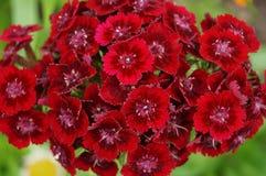 турецкий красный цвет гвоздики стоковое изображение
