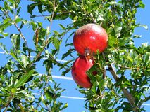 Турецкое гранатовое дерево на 'Alanya дерева шÑ, Турции стоковая фотография rf