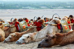 Туризм Eco - езда верблюдов - переход пустыни - Дуньхуан Стоковые Фотографии RF