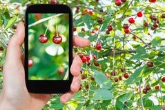 Туристские фотоснимки зрелой красной вишни 2 Стоковые Изображения RF