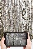 Туристские фотоснимки снега покрыли ветвь березы Стоковое Изображение RF