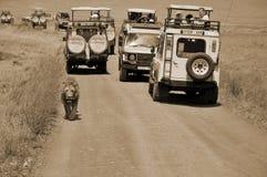 туристы в автомобиле смотря льва Стоковое Фото