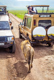 Туристы в автомобилях наблюдая группу в составе львицы во время типичного дня сафари Стоковые Изображения RF