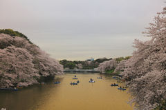 Туристы гребя шлюпку весело на Сакуре стоковое фото rf