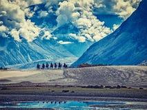 Туристы ехать верблюды в долине в Гималаях, Ladakh Nubra стоковое фото rf