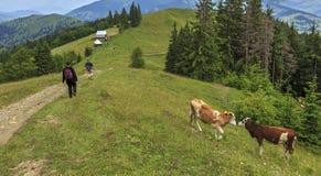 Туристы и коровы на холме Стоковая Фотография RF