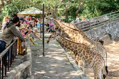 Туристы кормят жирафов на зоопарке Паттайя стоковое фото