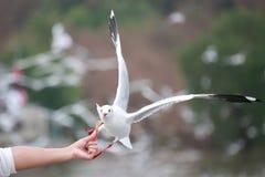 Туристы подают птицы Белая чайка летает к туристам Стоковые Изображения