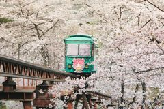 Туристы приходят к funaoka sendai в Японии оценить красоту вишневых цветов и ждать вверх по трамваю самое интересное surrou стоковая фотография rf