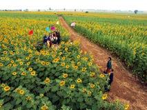 Турист в поле солнцецвета Стоковое фото RF