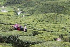 Турист на плантации чая стоковые фото