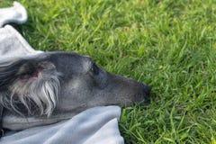 Туркменская гончая отдыхая на траве : Собака идет на солнечный летний день После дальнего прицела, борзая положенная вниз к стоковое фото rf