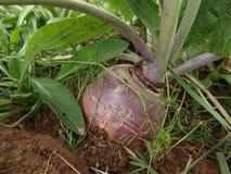 Турнепс растя в поле 1 Стоковое фото RF