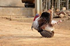 Турция во время ухаживания Стоковые Фото