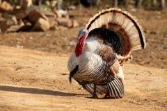 Турция во время ухаживания Стоковое Фото