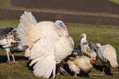 Турция в ферме вися вокруг куриц индюка Стоковые Фото