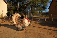 Турция на ухаживании Стоковые Фотографии RF