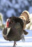 Турция показывая во время сезона размножения Стоковое Изображение RF