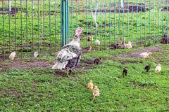 Турция с небольшими индюками в саде фермы около fence_ стоковые изображения rf