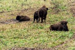 Тур в лесе европейское bonasus бизона бизона, также известное как зубр или европейский деревянный бизон, Россия стоковая фотография