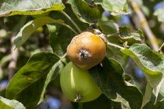 Тухлое яблоко на дереве Стоковые Фото