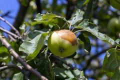 Тухлое яблоко на дереве Стоковые Изображения