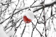 Тухлое яблоко на дереве стоковое фото rf