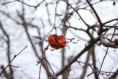 Тухлое unpicked яблоко на дереве - сезон зимы Стоковая Фотография RF