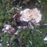 Тухлый гриб сосны стоковое изображение rf