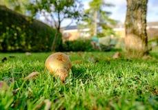 Тухлым класть груши увиденный плодоовощ на частную лужайку во время предыдущей осени Стоковая Фотография RF
