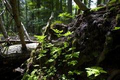 Тухлая древесина Стоковое Изображение