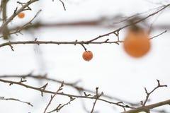 тухлая смертная казнь через повешение яблока на зимний день ветви замерли яблоки, котор Стоковые Изображения RF