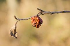 Тухлое яблоко на ветви во время теплого дня Стоковое Изображение