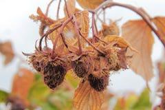 Тухлые условия плодоовощ и засухи стоковые изображения