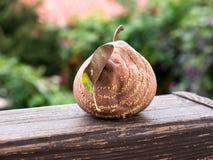 Тухлые яблоки Стоковое Изображение RF