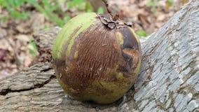 Тухлый кокос Стоковое Фото