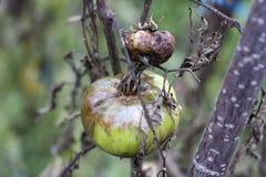 Тухлый томат Стоковые Фото