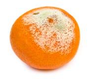 Тухлый tangerine при избалованная прессформа, изолировано Стоковые Фото