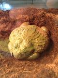 Тучная жаба Стоковые Фотографии RF