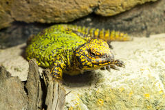 Тучная зелен-желтая ящерица на камне Стоковое фото RF