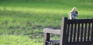 Тучная красная белка на скамейке в парке Лондона в осени стоковые фотографии rf