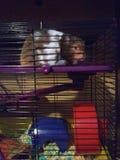Тучная крыса стоковое изображение rf